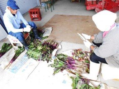 日野菜の収穫体験を散走でたずねました